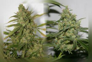 thumbnail Cheese 'n' Chong Feminized Seeds