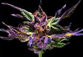 thumbnail Grand Daddy Purple Seeds