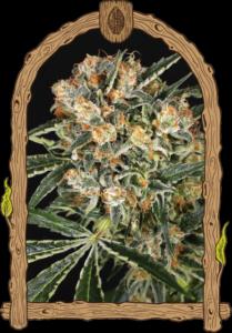 thumbnail Hippie Therapy CBD Feminized Seeds