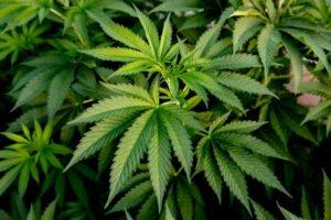 medical cannabis growing