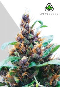 thumbnail Purple Stilton Autoflowering Seeds