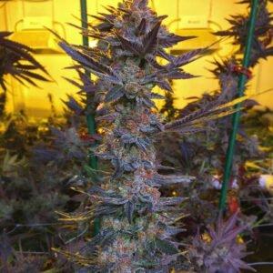 thumbnail Savage Hulk Seeds