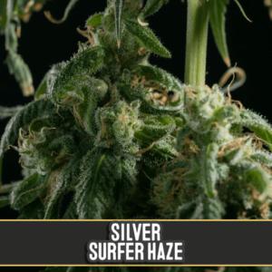 thumbnail Silver Surfer Haze Feminized Seeds