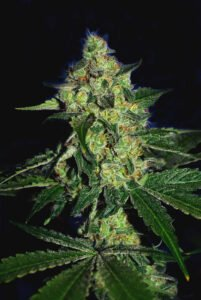 thumbnail Sugar Mill (Gold Collection) Feminized Seeds