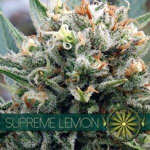 thumbnail Supreme Lemon Feminized Seeds
