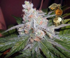 thumbnail The Purps Feminized Seeds
