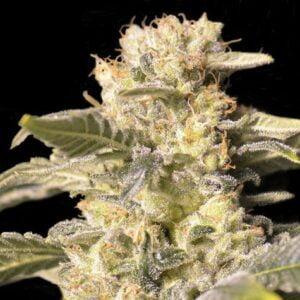 thumbnail TNT Kush CBD Feminized Seeds