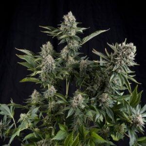 thumbnail White Widow CBD Feminized Seeds